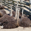 Group of young ostriches in farm — Stock Photo
