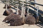 Gruppo di giovani struzzi in fattoria — Foto Stock