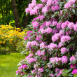 Rhododendron Bushes in Summer Garden — Foto de Stock