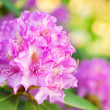 Stock Photo: Rhododendron flowers