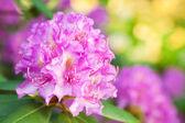 Flores de rododendro — Foto de Stock