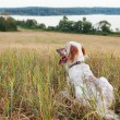 Irish setter on field — Stock Photo