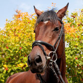 Portrait of a horse on autumn trees background — Stock Photo