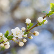 Twig of Spring tree blossom — Stock Photo