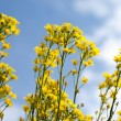 Canola under blue sunny sky — Stock Photo