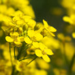 Canola, rape flowers close up — Stock Photo