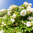 Bush of white garden Roses — Stock Photo
