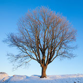 Einzelne Winter Baum — Stockfoto