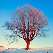 Winter tree in pink morning sunshine light — Stock Photo