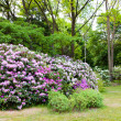 buissons de rhododendrons — Photo #44707503