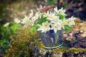 Wilde frühling blumen anemone im eimer im wald — Stockfoto