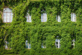 Windows on home wall covered with leaves — Stock Photo