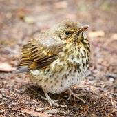 Throstle fledgling, song thrush on ground — Stock Photo