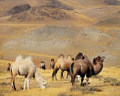 Photo camels against mountain. — Stock Photo