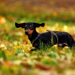 Happy dachshund dog in park — Stock Photo #1387356