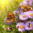 Butterfly on flowers — Stock Photo