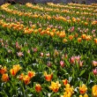 Flowers in Keukenhof park, Netherlands, also known as the Garden — ストック写真 #42324827