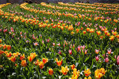 Flowers in Keukenhof park, Netherlands, also known as the Garden — Stock Photo