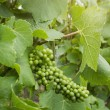 Green grape on vineyard — Stock Photo