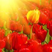 Campo ensolarado de tulipas — Fotografia Stock