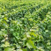 Пейзаж виноградника — Стоковое фото