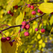 Apple-tree branch with small apples and yellow leaves. autumn pa — Stock Photo