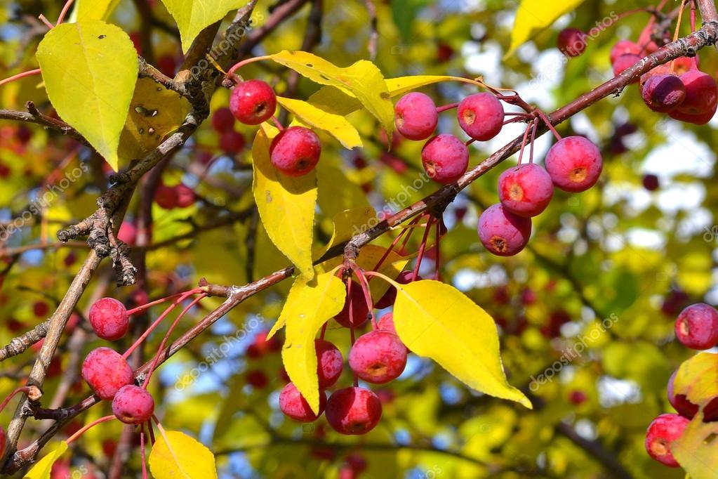 Branche de pommier avec petites pommes et feuilles jaunes automne photographie veronka72 - Ou trouver des caisses u00e0 pommes ...