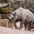 Black rhinoceros — Stock Photo #12833035