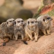 Stock Photo: Group of watchful meerkats on termitary