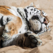 Playful tiger laying on the sand - Stock Photo