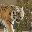 Predator: tiger and bamboo tangle - Stock Photo