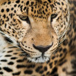 Wild animals: Portrait of leopard — Stock Photo #12838850