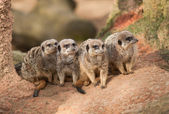 Group of watchful meerkats on the termitary — Stockfoto