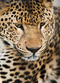 Wild animals: Portrait of leopard — Stock Photo