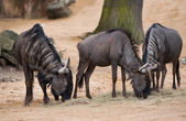 Grazing or pasturing wildebeests — Stock Photo