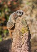Meerkat, забравшись на термитник — Стоковое фото
