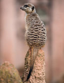 Meerkat turning his head and sitting on the termitary — Stock Photo