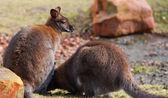 Dwa wallabies wypas w środowisku naturalnym — Zdjęcie stockowe