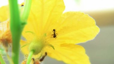 Mravenci na okurkový květ časová prodleva — Stock video
