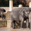 Asiatic elephants: Animal life in Asia — Stock Photo
