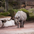 Black rhinoceros: animal life in Africa — Foto de Stock