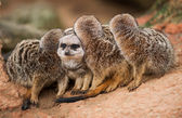 Be different: group of meerkats looking out — Stock Photo