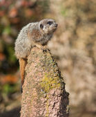 Alert: watchful meercat on the mound — Stockfoto