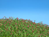Cranberry thicket and blue sky — Stock Photo