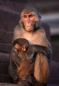 Mother Rhesus macaque — Stock Photo