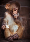 Rhesus macaque baby sitting — Stock Photo