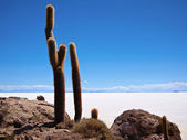 Giant cactus and Uyuni salt lake — Stock Photo
