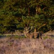 Stock Photo: Red deer in heath