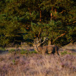 Red deer in the heath — Stock Photo