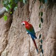 Green-winged macaw at a clay lick — Stock Photo